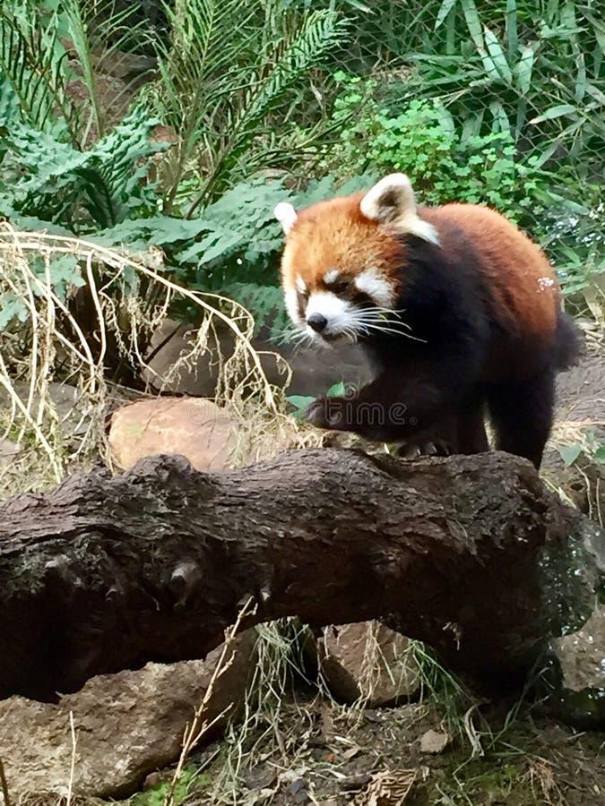 Rosso del panda fotografia stock