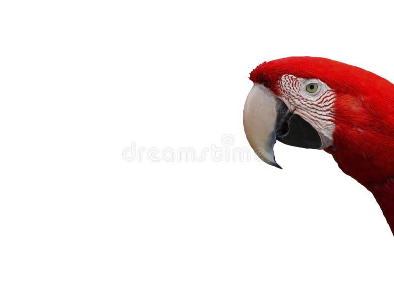 Rosso del pappagallo dell'ara dell'uccello fotografie stock