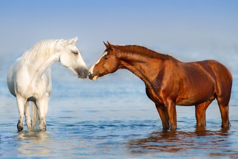 Rosso e cavallo bianco in fiume immagine stock