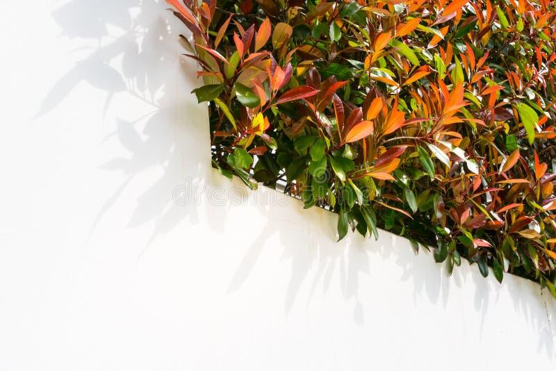 Rosso e foglie verdi Bush della parete sul fogliame bianco in bianco N all'aperto fotografia stock libera da diritti