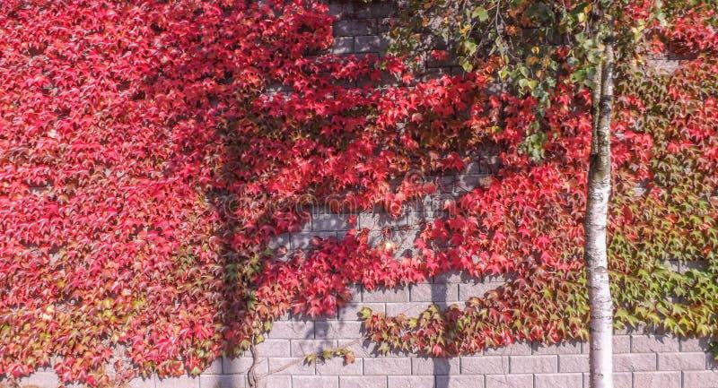 Rosso e verde variopinti, caduta Ivy Creeper su una parete panoramica immagine stock