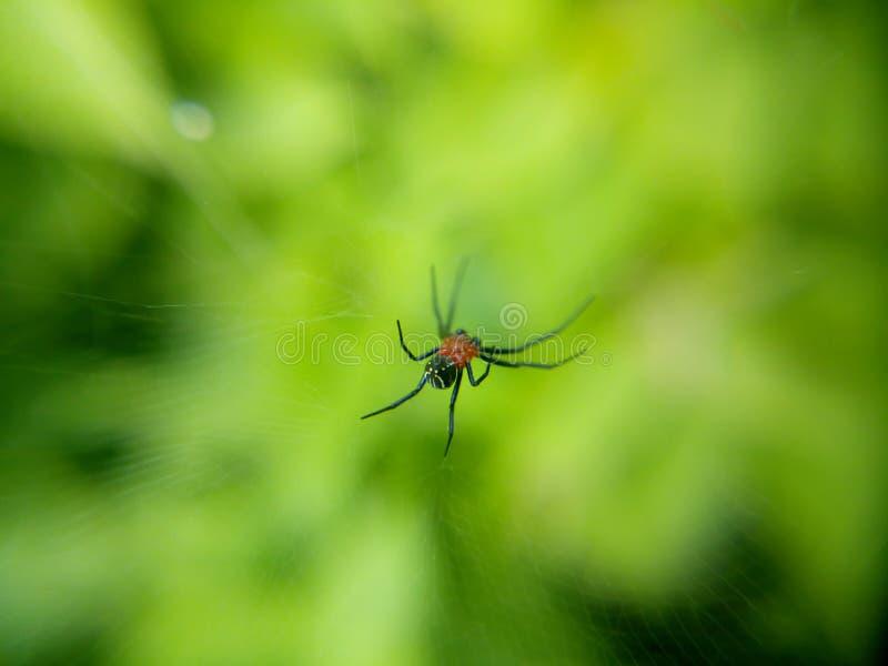 rosso nero del ragno immagini stock libere da diritti