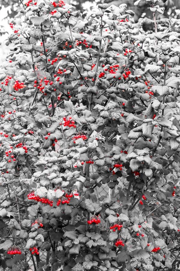 Rosso sul nero, così dopo tutto questo viburno curativo delle bacche! immagini stock