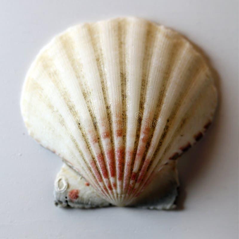 Rosso variopinto, bianco e Grey Seashell in una macro foto immagini stock