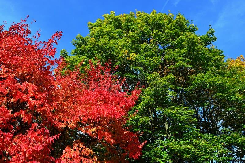 Rosso, verde luminosi e giallo hanno colorato le foglie sul genere di Acer delle corone degli alberi di acero durante la stagione fotografie stock libere da diritti