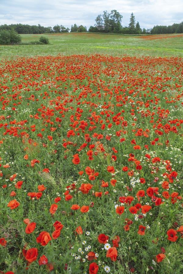 Rossore di bello campo del ` s del papavero fotografia stock