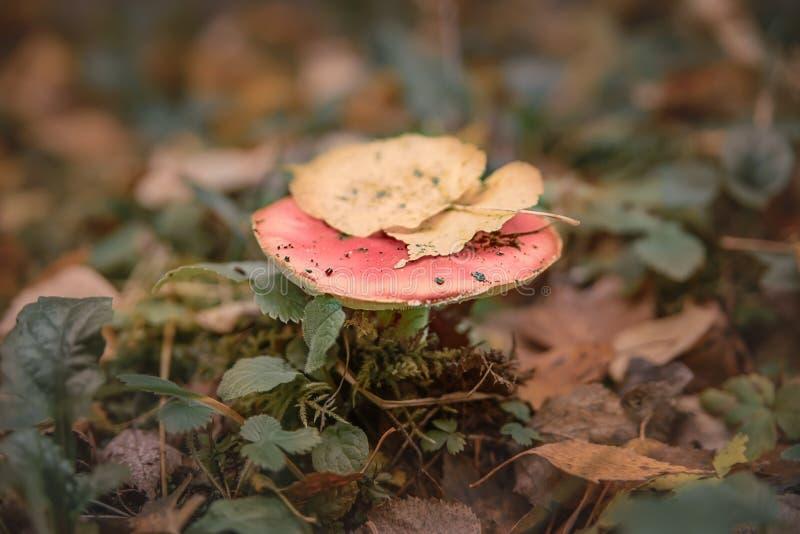 Rossula rose sur la poussière dans la forêt d'automne à côté des feuilles d'automne jaunes photo libre de droits