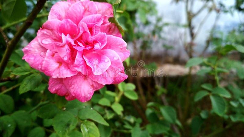 rossy стоковое изображение