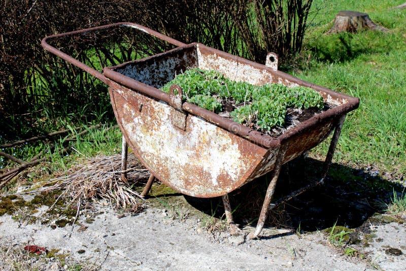 Rostad metallblommabehållare som formas som hjulkärran som fylls med jord och växter och används som omgiven trädgårdgarnering me arkivfoto