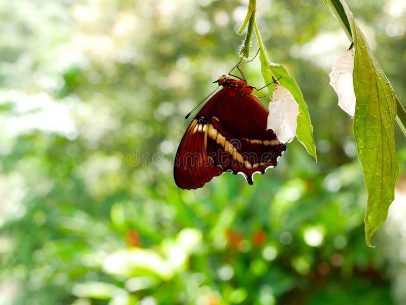 Rostig tippad epaphus för sidafjärilsspiroeta ut ur dess puppa med en annan tom puppa på dess suddiga gröna bakgrund för sida arkivfoto
