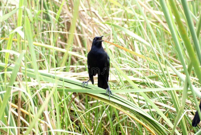 Rostige Amsel im Everglades-Nationalpark stockbild
