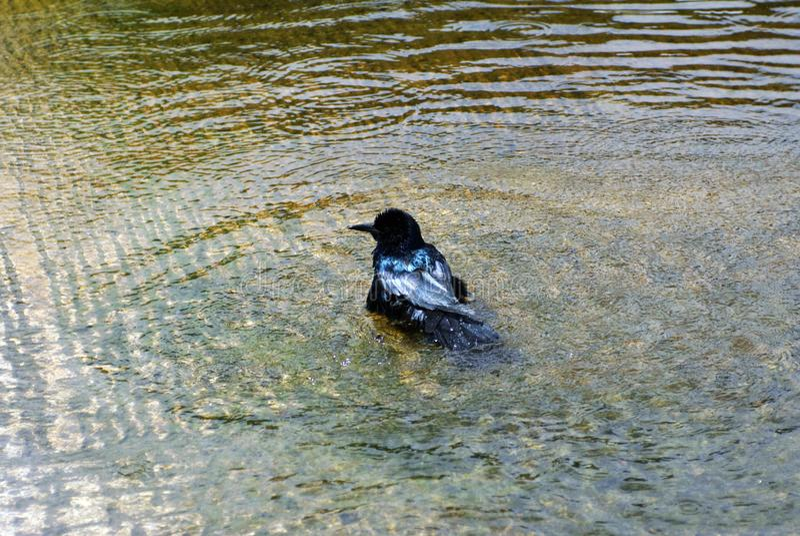Rostige Amsel im Everglades-Nationalpark, Florida, USA lizenzfreie stockbilder