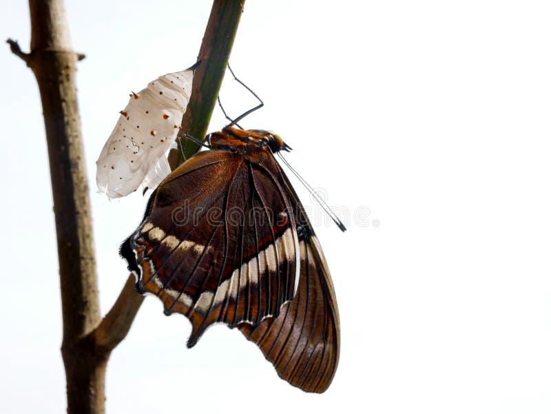 Rostiges gespitztes Seitenschmetterling spiroeta epaphus aus seinem Puppenweißhintergrund heraus lizenzfreie stockfotos