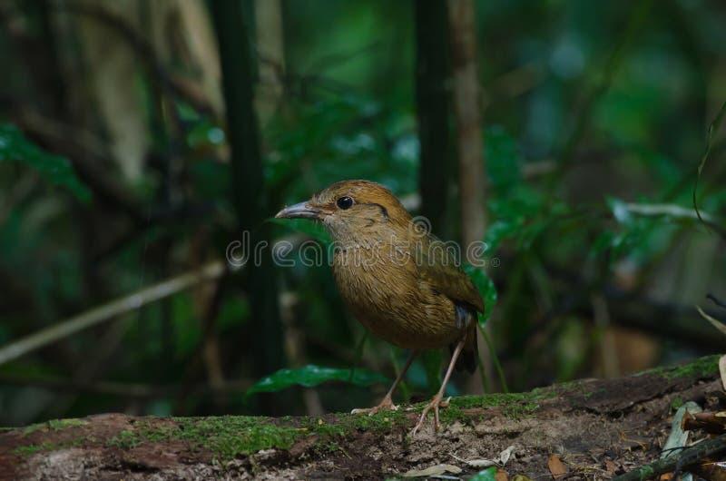 Download Rostiges-naped Pitta In Der Natur Stockfoto - Bild von dschungel, eingebürgert: 96930152