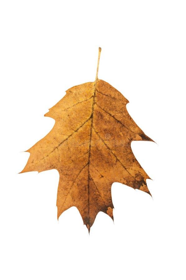 Rostigt blad för brun ek arkivbilder