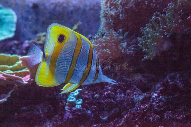 Rostratus de Chelmon dos peixes da borboleta de Copperband fotografia de stock