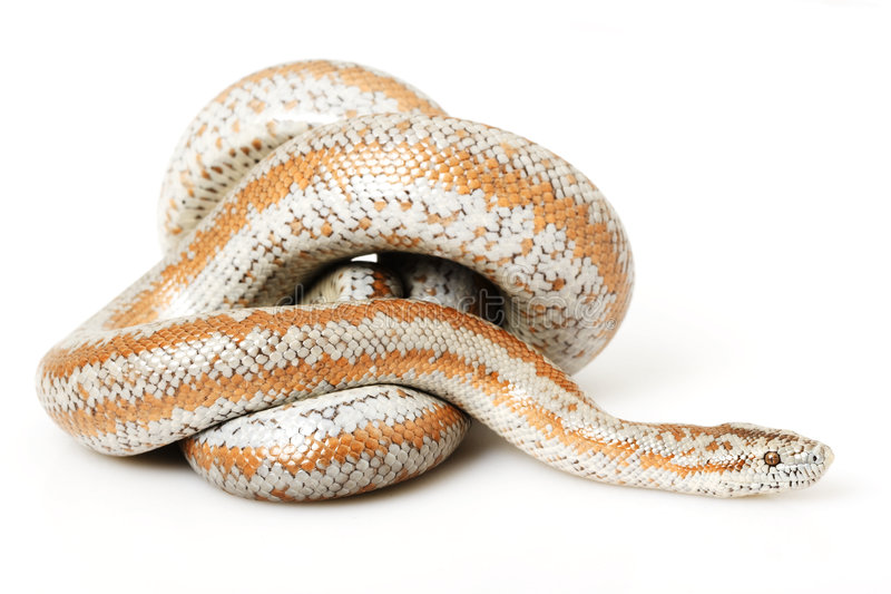 Download Rosy Boa stock image. Image of exotic, sinister, biology - 7280877