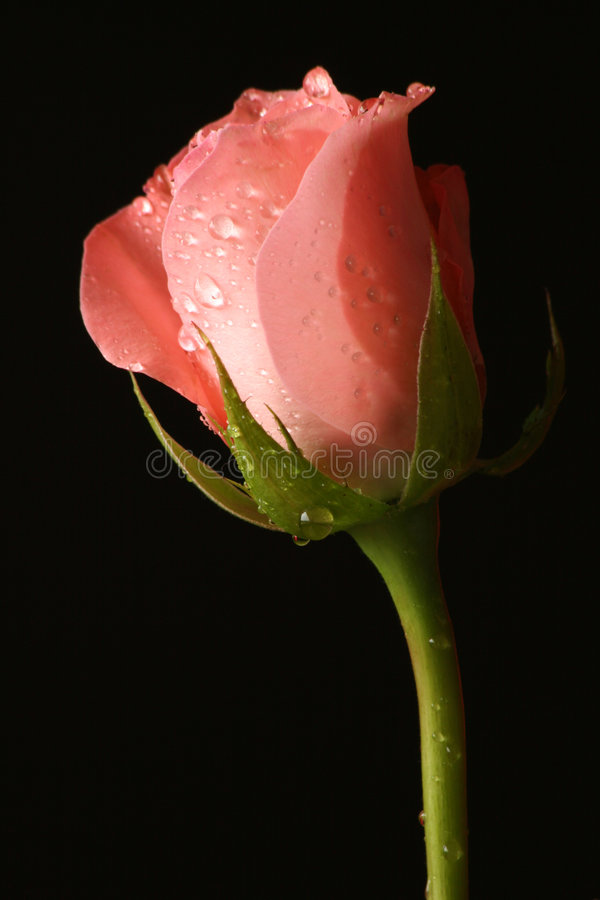 Download Rosy Dew stock image. Image of stem, romance, rose, beauty - 899699