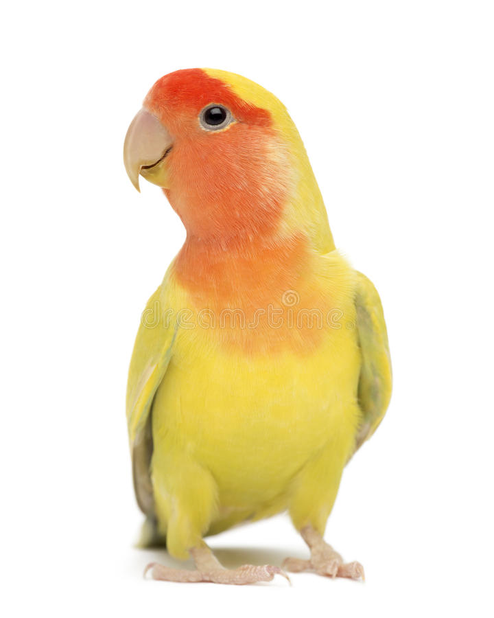 Rosy-faced Lovebird, A...