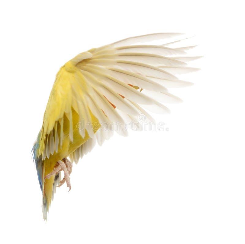 Download Rosy-faced Lovebird flying stock image. Image of lovebird - 27271531