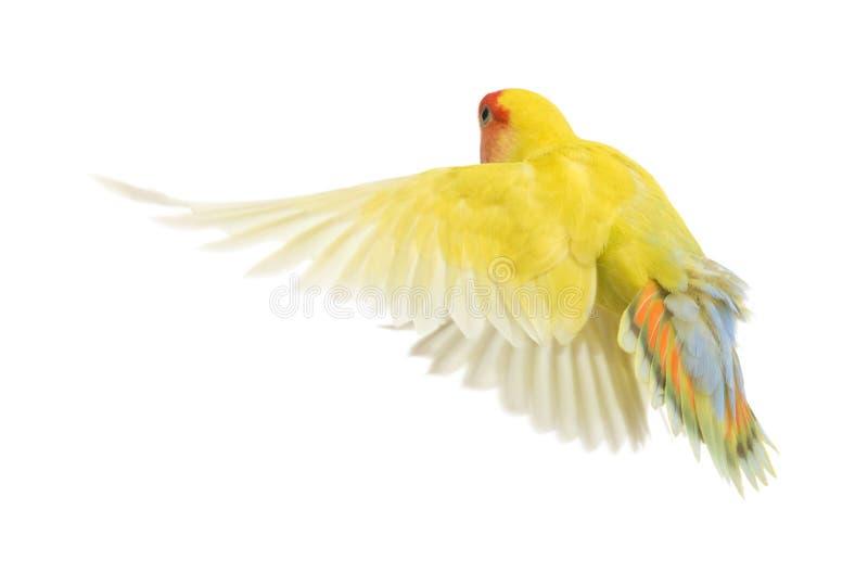 Rosy-faced Lovebird Flying Stock Image