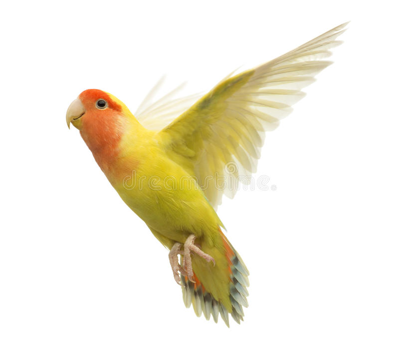 Download Rosy-faced Lovebird Flying Stock Photo - Image: 27271590