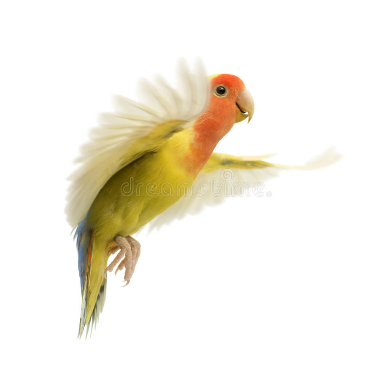 Download Rosy-faced Lovebird flying stock image. Image of flight - 27271617