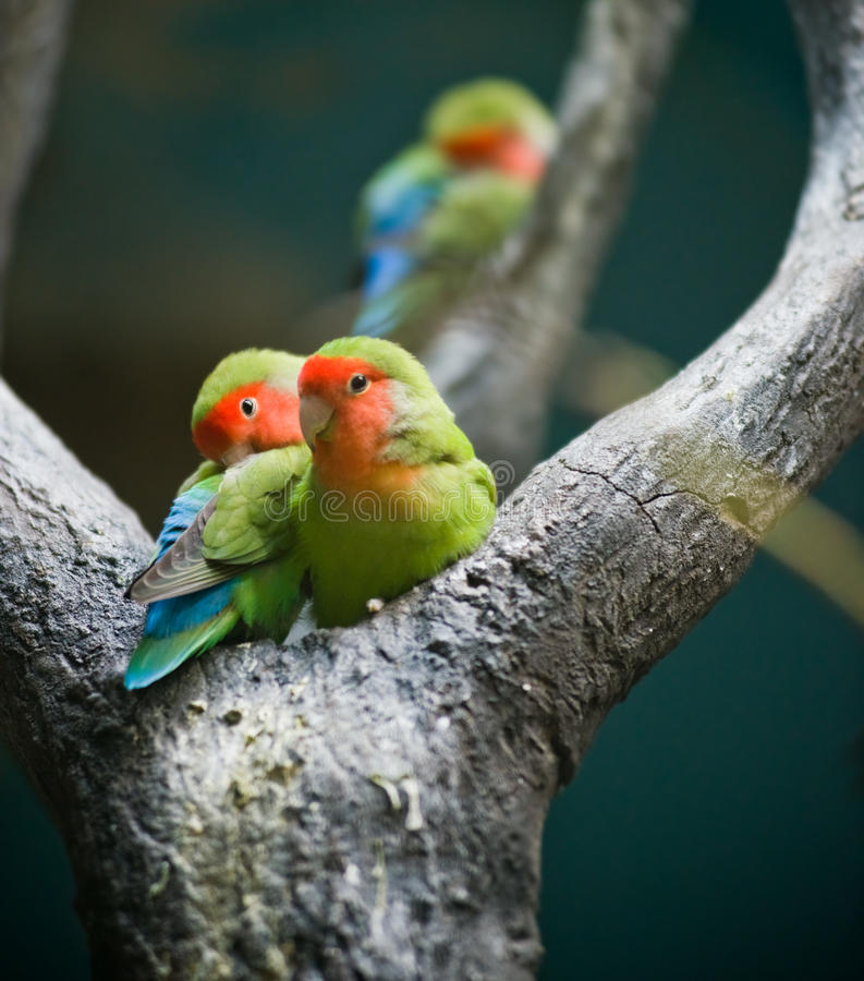Download Rosy-faced Lovebirds stock image. Image of agapornis - 25386625