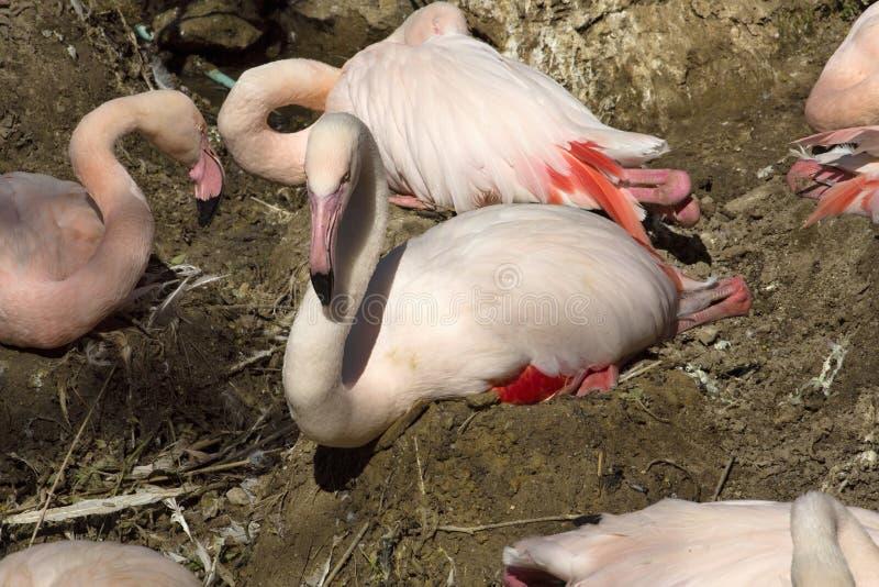 Rosy Flamingo, roseus van Phoenicopterus ruber, in het nest stock afbeelding