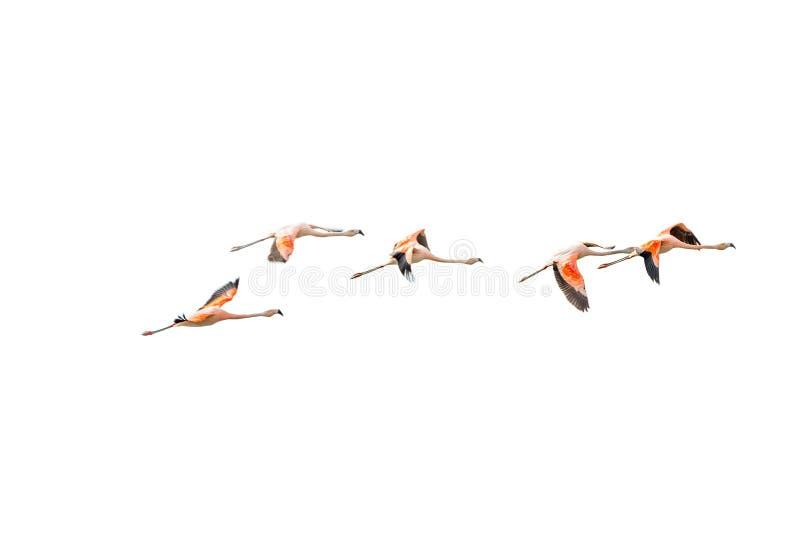 Rosy Flamingos volante d'isolement à la région de réservation d'oiseaux de Nimez, photographie stock