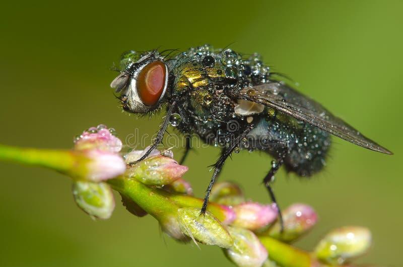 Rosy komarnica obraz stock