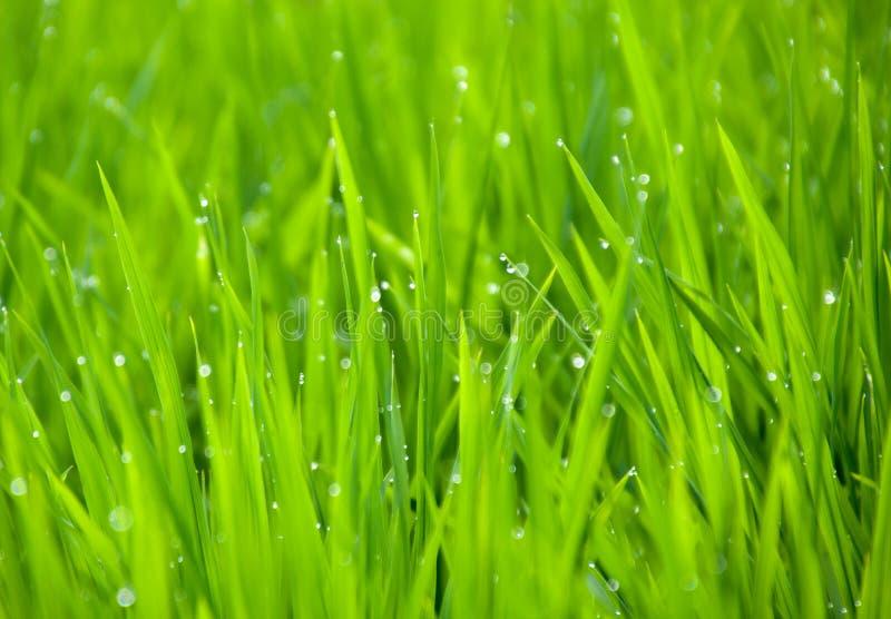 Rosy kropelka na ryżowej rośliny brackground obrazy stock