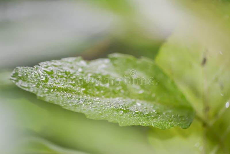 Rosy kropla na zielonym liściu obrazy stock