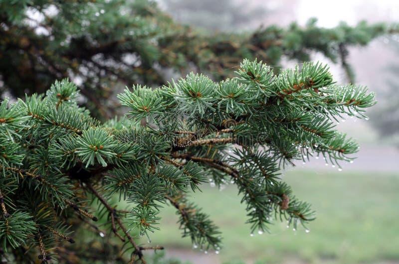 Rosy natury zieleni furtree sieć fotografia stock