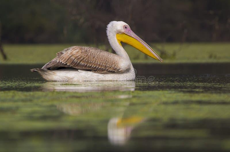 Rosy Pelican imagens de stock