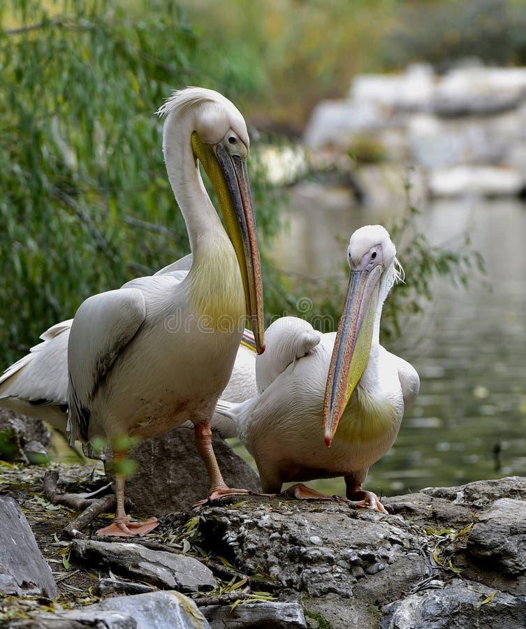 Rosy Pelican imagem de stock royalty free