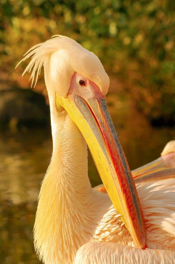Rosy Pelican no lago do parque no outono fotos de stock