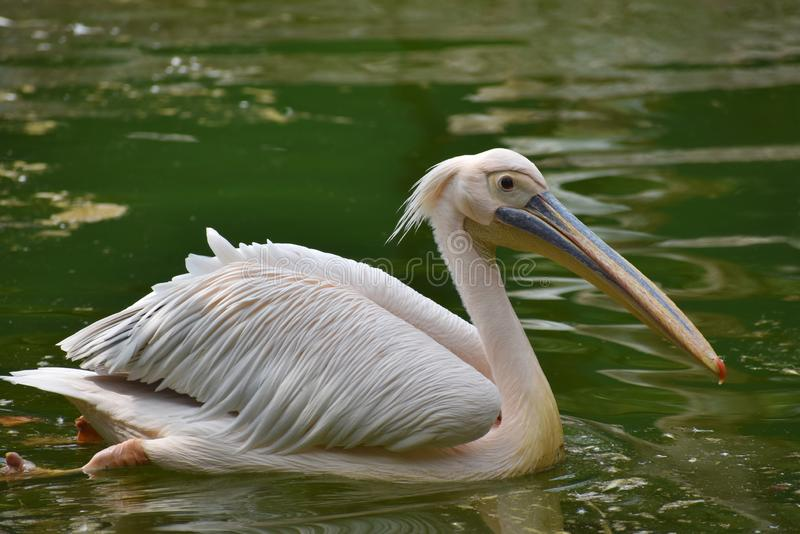Rosy Pelican, onocrotalus do Pelecanus, Hyderabad, Telanagana, Índia imagem de stock royalty free