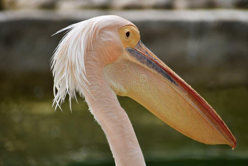 Rosy Pelican, onocrotalus do Pelecanus, Hyderabad, Telanagana, Índia foto de stock