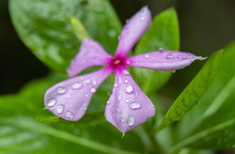 Rosy Periwinkle Flower with Water Droplets Closeup Shot royalty free stock photo