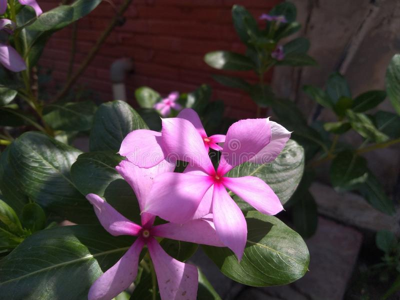 Rosy periwinkles with green leaves in the garden stock image