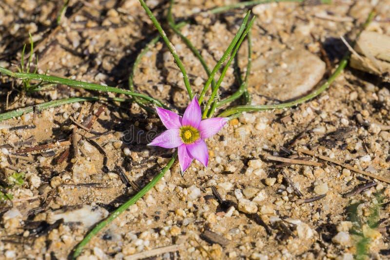 Rosy Sandcrocus (Romulea-rosea), endemisch in Zuid-Afrika en in Europa, Australië, Nieuw Zeeland en Californië dat in naturalisee royalty-vrije stock fotografie