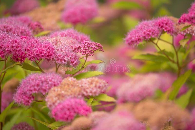 Rosy Spiraea - Montanha-doce fotografia de stock royalty free