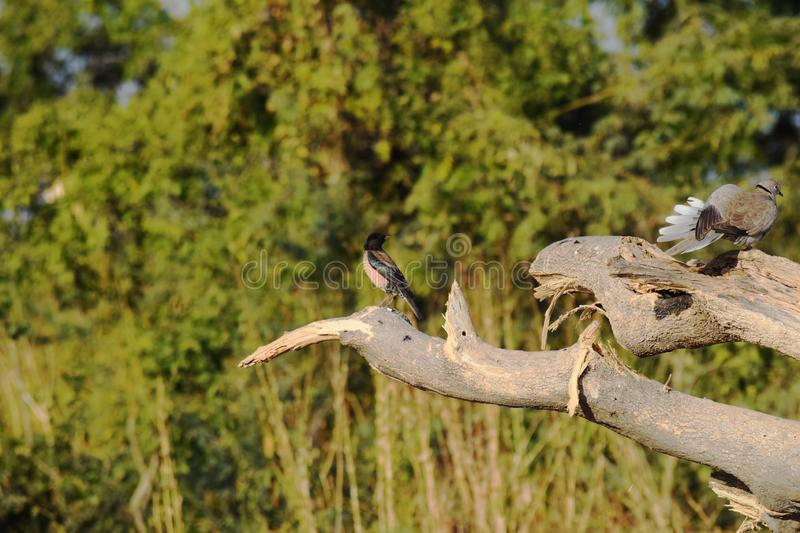 Rosy starling and Eurasian collared dove ring necked dove perching on a tree. Rosy starling and Eurasian collared ring necked dove perching on same tree on a stock photography