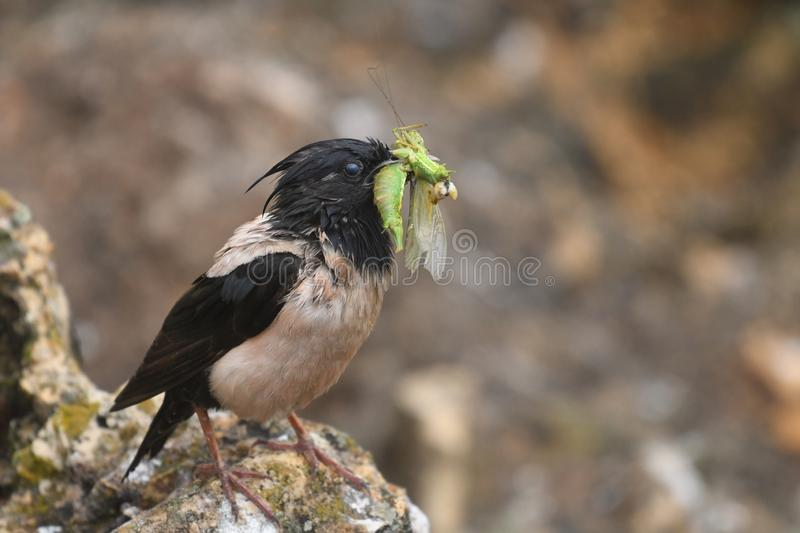 Rosy Starling Sturnus roseus. The Rosy Starling Pastor roseus is a passerine bird in the starling family Sturnidae, also known as the Rose-coloured Starling or stock photography