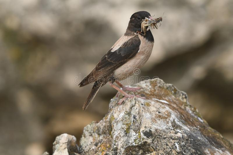 Rosy Starling Sturnus roseus. The Rosy Starling Pastor roseus is a passerine bird in the starling family Sturnidae, also known as the Rose-coloured Starling or stock image