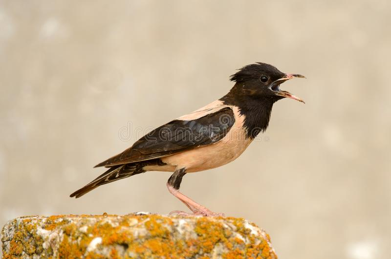 The rosy Starling is standing with open beak on a beautiful background.  royalty free stock photo