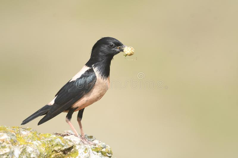 Rosy Starling Sturnus roseus. The Rosy Starling Pastor roseus is a passerine bird in the starling family Sturnidae, also known as the Rose-coloured Starling or royalty free stock photography