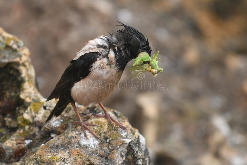 Rosy Starling Sturnus roseus. The Rosy Starling Pastor roseus is a passerine bird in the starling family Sturnidae, also known as the Rose-coloured Starling or royalty free stock photo