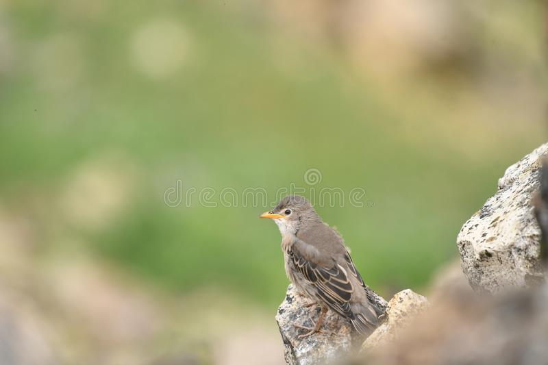 Rosy Starling Sturnus roseus. The Rosy Starling Pastor roseus is a passerine bird in the starling family Sturnidae, also known as the Rose-coloured Starling or stock photos